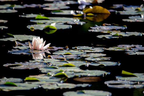 A photo of a water lily taken by Jeremiah Williams