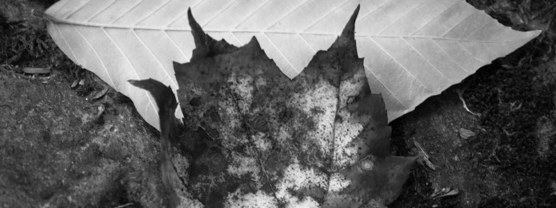 Black and white Leaves.